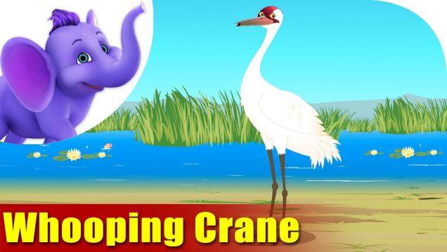 Whooping Crane – Bird Song (4K)